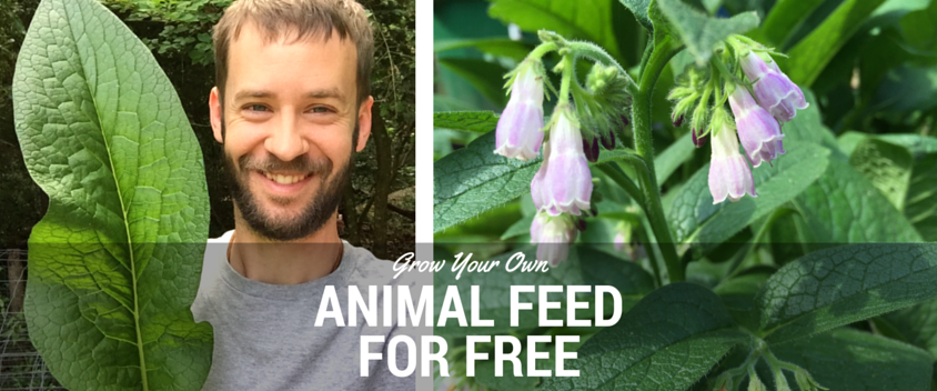 how to grow corn for animal feed